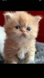 Alguém me vende uma gatinho assim p minha filha que não seja muito caro