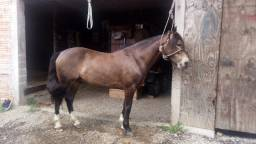 Cavalo crioulo 6 anos documentado