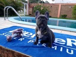 Bulldog Francês exótico blue macho