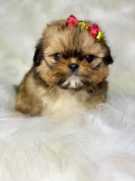 Perfeição em Fêmea com pedigree Mini Shih tzu