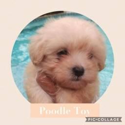 Poodle com pedigree e microchip em até 18x