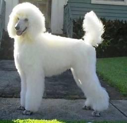Poodle Gigante Macho