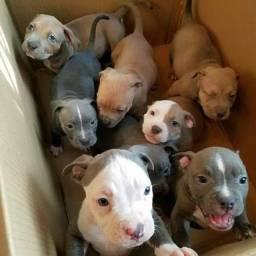 Doa-se lindos filhotes da raça Pitbull