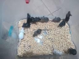 Filhotes de camundongo