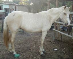 Cavalo + égua mangalarga