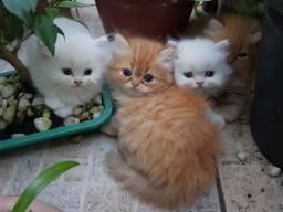 Filhotes de Gato Persa - Lindos