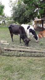 Vacas de Boa procedência