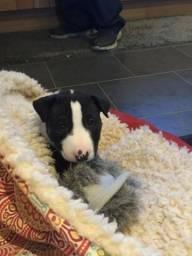 Bull Terrier Inglês (11)94206-8365 Walace