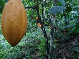 Fazenda de Cacau no Sul da Bahia. Mascote - Camacã - Itabuna