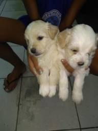 Cachorro poodle de ótima raça, número,2
