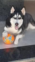 Cachorra husky siberiano