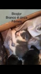 Filhotes de gato siamês fêmeas e machos