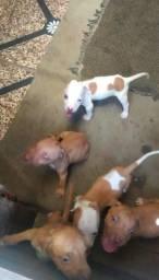 Vendo filhotes De Pitbull RedNose
