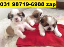 Canil Filhotes Cães Lindos BH Lhasa Poodle Maltês Yorkshire Shihtzu Spitz