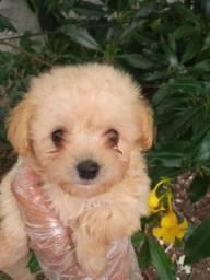 Poodle Toy com pedigree e microchip em ate 18x e