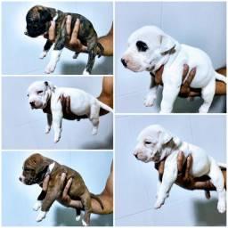 Vendo esses filhotes de Pitbull urgente!!