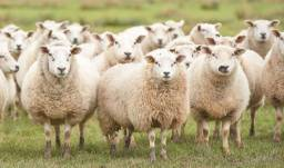 Vendo ovelhas prenhas