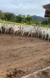 Vacas Paridas e inseminadas