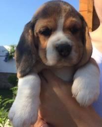 !Macho e Fêmea! Beagle 13 Polegadas com Pedigree + Garantia de Saúde