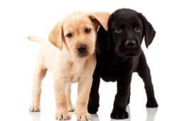 Labrador, Chocolate e Amarelo com pedigree a Pronta Entrega
