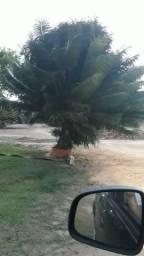 Palmeira Sagu