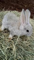 Filhotes de coelhos , 45 dias de vida
