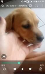 Cadela para doação (Urgente) SRD