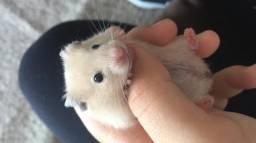 Hamster preto e bege