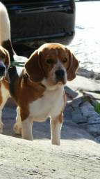Beagle para cruzar