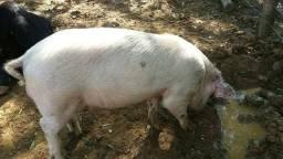 Doa-se um porco