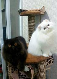 Gatos de alta genética