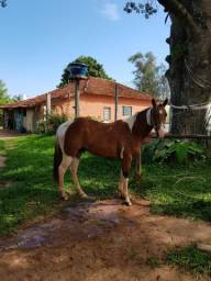 Paint horse PO