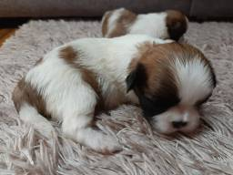 Machinhos de shih Tzu
