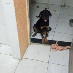 Cachorro rotvalle