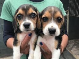 Beagle com pedigree em até 18 x