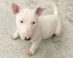 Bull Terrier Inglês, somos a unica rede com clinicas veterinarias, chamar what's