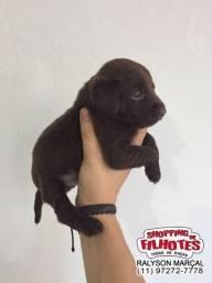 Labrador filhotes de alto padrão da raça, parcelamos em ate 12x sem juros