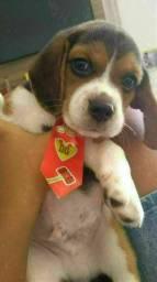 Beagle Mini Pedigree Garantia de saúde Filhotes