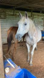 Vendo cavalo árabe