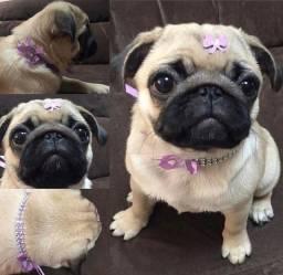 Mini Pug fêmeas