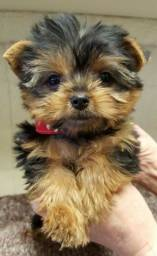 Filhote Macho Yorkshire Terrier Micro Pedigree Garantia