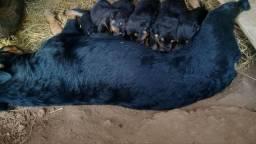 Filhotes de rottwiller em ap Goiânia ótima oportunidade