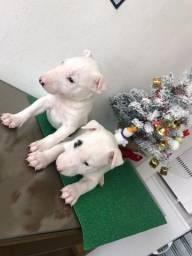 Ótimo Presente p/ o Dia das Mães! Bull Terrier Inglês Macho e Fêmea