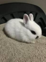 Mini coelhos -hotot/netherland (anão)