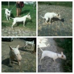 Bull terrier.( fêmea )