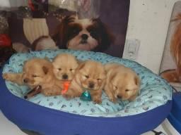 Chow chow o melhor bebê do mundo disponível pedigree cbkc