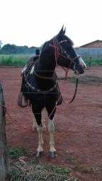 Cobertura garanhoes paint horse