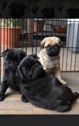 Pug abricó e preto machos e femeas a pronta entrega envio pra todo Brasil