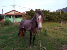 Cavalo mangalarga MM