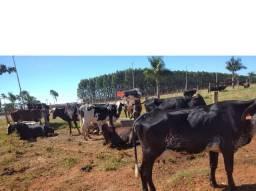 Venda de vacas leiteiras de 15 a 45 kg todas as raças (credit@ para pequeno produtor)